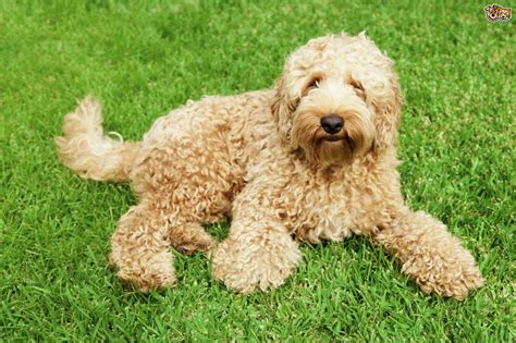 doodle doodle breed labradoodle breed information buying advice photos