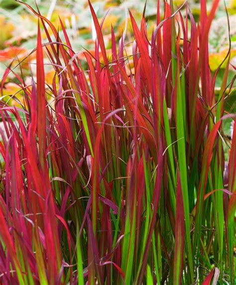 japanse tuin planten kopen japans bloedgras specials bakker hillegom tuin