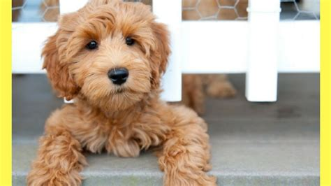 best dogs that dont shed top 10 best medium dogs that don t shed amazing