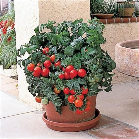 patio tomato patio hybrid fast tomato seeds low cost shipping