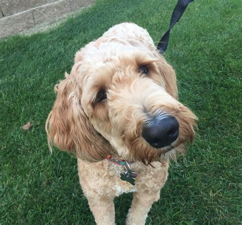 goldendoodle puppy omaha how to an excitable to calm around new dogs