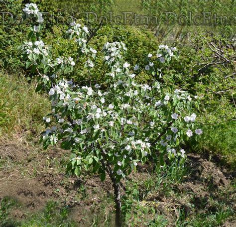 melo in fiore 10 migliori immagini melo cotogno dal fiore al frutto su