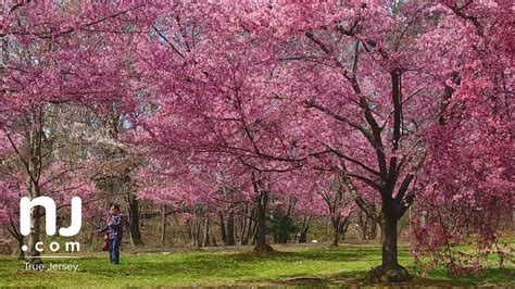 enjoy an explosion of stunning color as cherry trees finally blossom