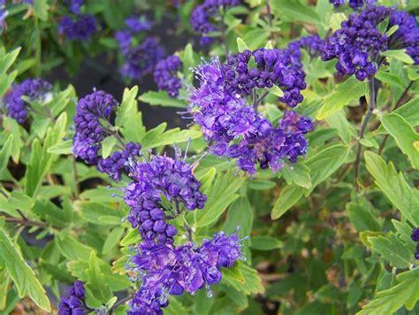 pianta con fiori viola a grappolo caryopteris clandonensis caryopteris clandonensis