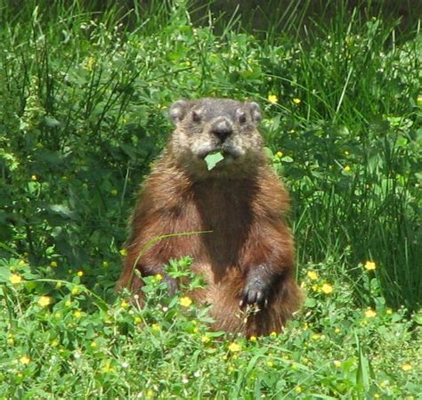 how to get rid of a groundhog in my backyard how to get rid of ground hogs