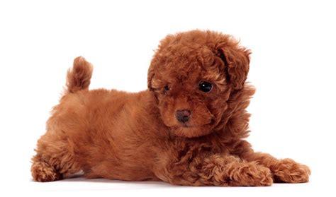 poodle breed poodle breed information