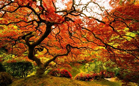 picture   day japanese maple   portland