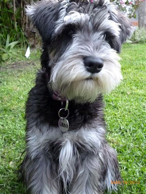 mini schnauser perfect haircut 25 best ideas about schnauzer grooming on pinterest