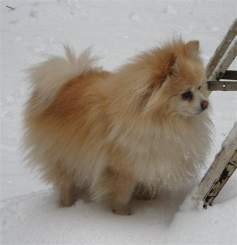 pomeranian coat pomeranian baxter s winter coat baxter and mimi 24 7 365 coats