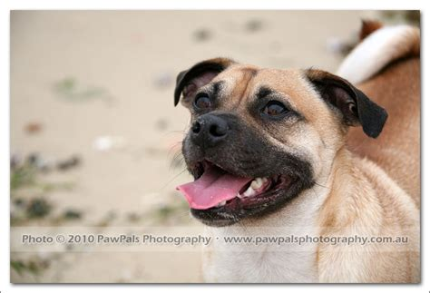 russel x pug ben the x pug sydney pet photographer pet photography
