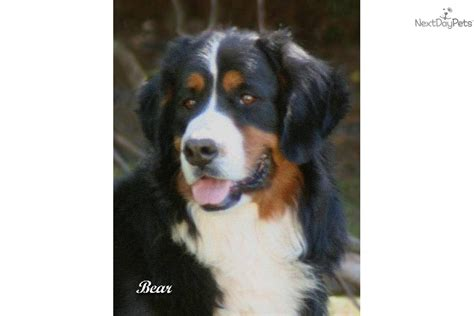 bernese mountain puppies california bernese mountain rescue california breeds picture