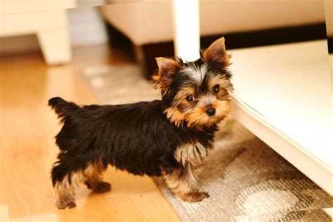 hair cut for tea cup yorkies picture of adult yorkie haircut
