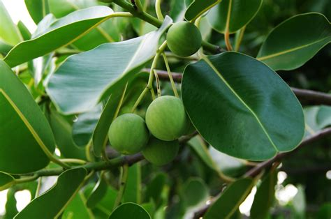 Daun Sengugusenggugusrigunggu 1kg manfaat tanaman nylung buka mata