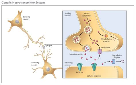 Neurotransmitters Also Search For File Generic Neurotransmitter System Jpg Wikimedia Commons