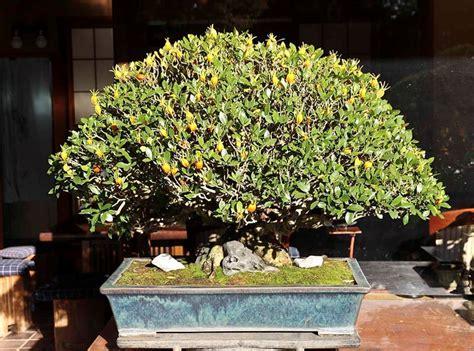 curare il limone in vaso bonsai limone curare bonsai coltivare il bonsai limone