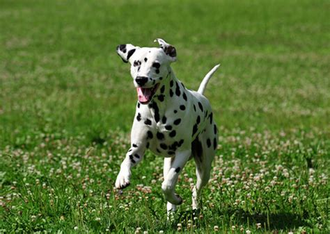 playful dogs 15 most playful breeds photo gallery