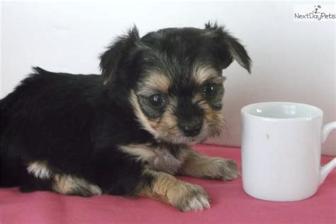 yorkie poo puppies for sale in michigan yorkiepoo yorkie poo puppy for sale near battle creek michigan 49977f9f 3711