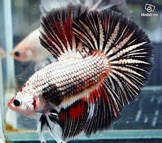 Makanan Ikan Cupang Laga macam macam gambar ikan cupang hias ikan cupang laga ikan