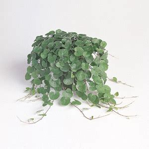 Foliage House Plants Identification - unusual and exotic vine seeds from around the world