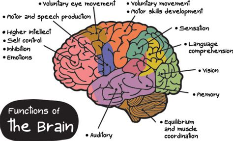 Sections Of The Brain And What They by Part Of Brain Responsible For Emotions And Feelings Crafts