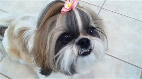 shih tzu fussy eater shih tzu lunch what a picky eater