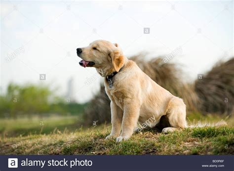 golden retriever panting golden retriever puppy panting stock photo royalty free image 25219111 alamy