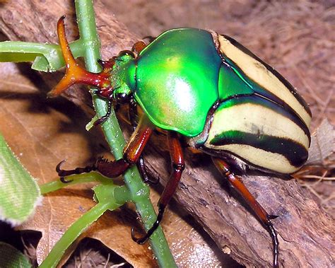 bug three striped love beetle nature s crusaders