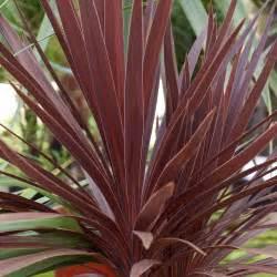 Cordyline australis red star cabbage palm dobbies garden centres