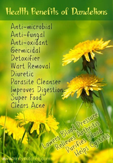 Benefits Of Dandelion Detox Tea by All About Dandelions And Their Health Benefits With