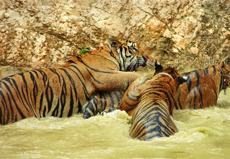 wild tigers  fun  swimming playing  water stock image image  adult