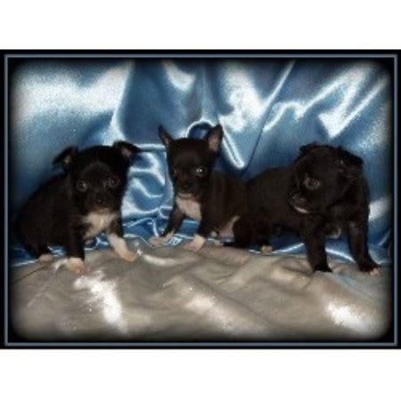 free puppies in saginaw mi coco s chihuahuas chihuahua breeder in saginaw michigan