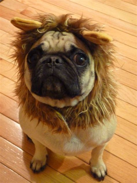pugs lions king pug dogs posts king and the o jays