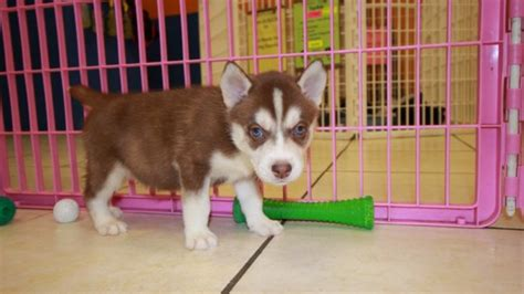 husky puppies for sale in ga copper siberian husky puppies for sale in at puppies for sale local