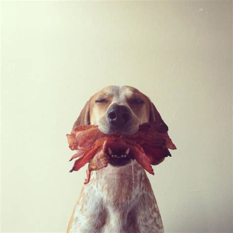 can dogs eat bacon it s national bacon day 2014 the world s tastiest great bacon recipes