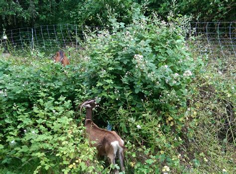 the backyard goat progress made in the backyard goat update the works