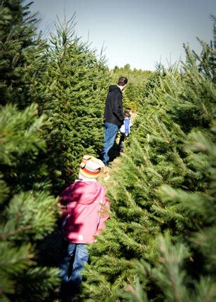 christmas tree needle retention trees country barn