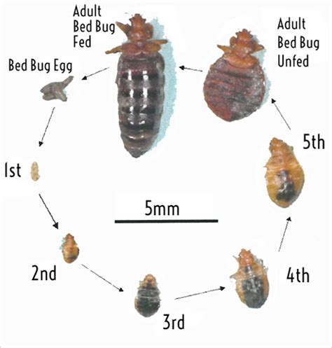 bed bugs pictures stages 28 bed bug stages bed bug larvae stage bed bug