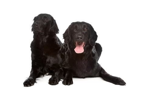 flatcoated retrievers the world 1852790180 flat coated retriever dogs breed information omlet