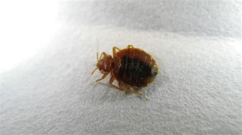 bed bug eggs bed bugs and eggs bed bugs