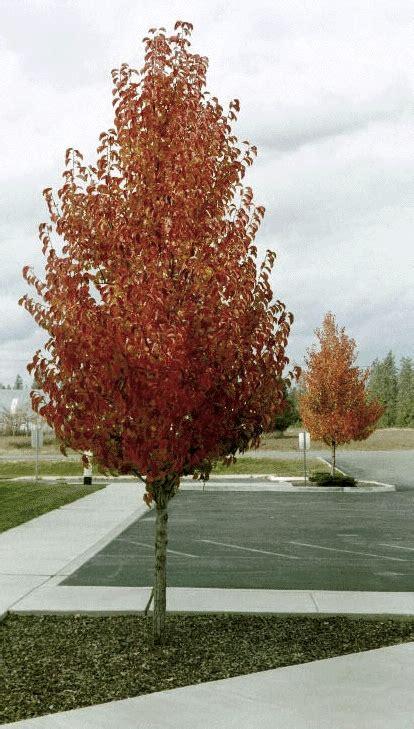 ornamental pears blerick trees buy online trees advanced trees screening plants fruit trees