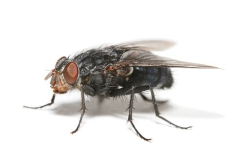 Does A Bed Bug Fly