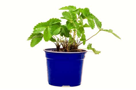 pianta di fragola in vaso pianta fragole rifiorente in vaso diametro 14cm