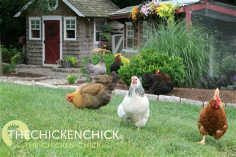 backyard chicken care the chicken 174 how altering feed can hurt your chickens