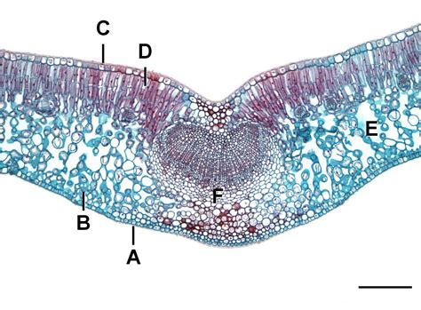 cross section dicot leaf file dicot leaf l jpg wikimedia commons