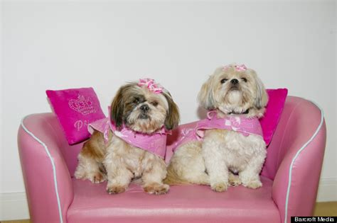 how much are shih tzu puppies worth owner spends most of wage on two shih tzus totalling 163 30 000