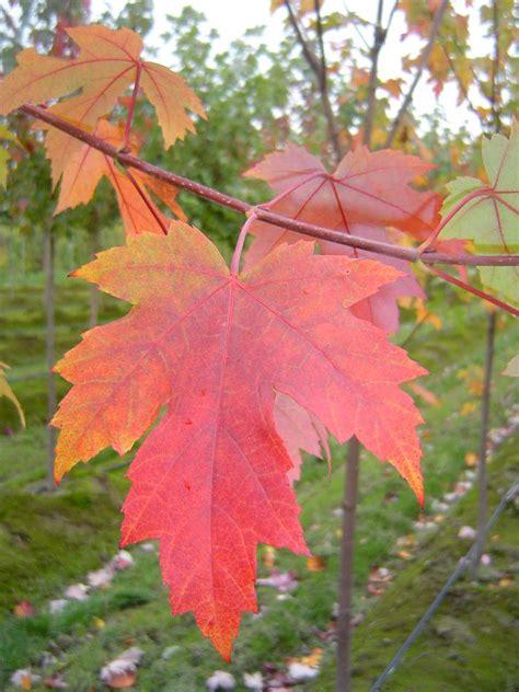 autumn blaze maple tree autumn crafts picture