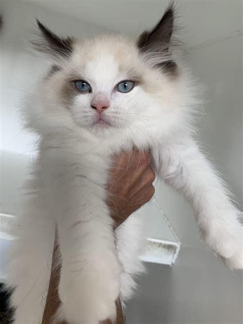 ragdoll long hair kittens  sale  westchester  york