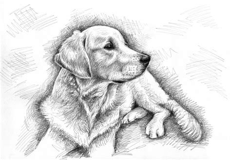 golden retriever sketch golden retriever sketch drawing by zeug