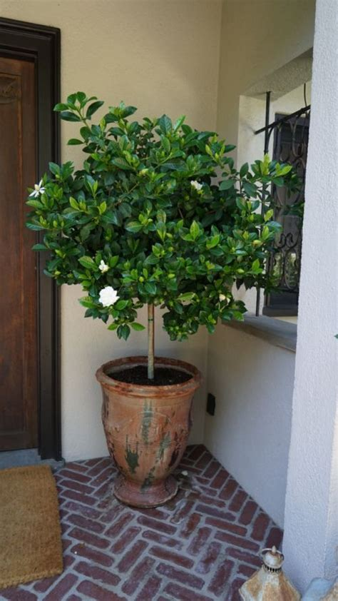 potted gardenia tree  images potted trees patio