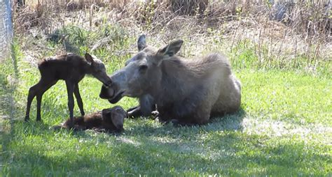 moose  birth  twins  backyard video
